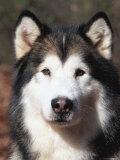 Alaskan Malamute Dog Portrait  Illinois  USA