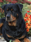 Rottweiler Dog Portrait  Illinois  USA