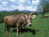 Domestic Cow  Grazing in Unimproved Pasture Tatra Mountains  Slovakia