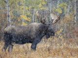 Moose Bull in Snow Storm with Aspen Trees in Background  Grand Teton National Park  Wyoming  USA