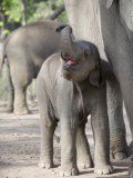 Baby Indian Elephant  Will be Trained to Carry Tourists  Bandhavgarh National Park  India