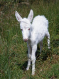 Domestic Donkey Foal  Albino  Europe