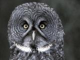 Great Grey Owl Portrait  Alaska  USA