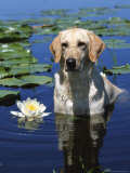 Labrador Retriever Dog in Lake  Illinois  USA