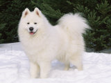 Samoyed Dog in Snow  USA
