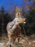 Roe Deer with Velvet Antlers (Capreolus Capreolus) Europe