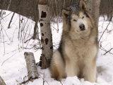 Alaskan Malamute Dog  USA