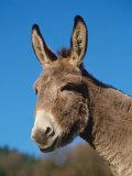 Domestic Donkey Head Portrait, Europe Papier Photo par Reinhard