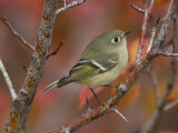 Ruby Crowned Kinglet  Adult in Black Hawthorn  Grand Teton National Park  Wyoming  USA