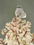 Mockingbird  Perched on Yucca Flower  Texas  USA