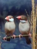 Java Sparrows  Cream (Padda Oryzivora)