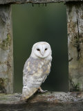 Barn Owl  in Old Farm Building Window  Scotland  UK Cairngorms National Park