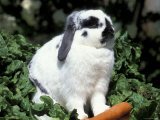 Pet Domestic Holland Lop Eared Rabbit with Carrot