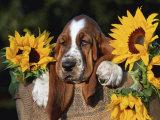 Bassett Hound Pup with Sunflowers