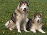 Two Alaskan Malamute Dogs  USA