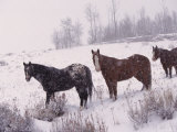 Domestic Horses  in Snow  Colorado  USA