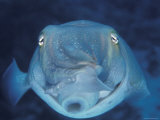 Broadclub Cuttlefish  Face-On  Great Barrier Reef  Australia