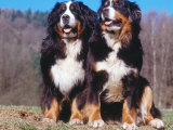 Two Bernese Mountains Dogs