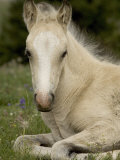 Mustang / Wild Horse Filly Portrait, Montana, USA Pryor Mountains Hma Papier Photo par Carol Walker
