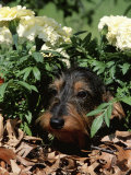 Long Haired Dachshund Among Carnations  USA