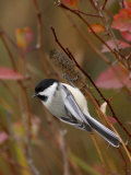 Black Capped Chickadee  Eating Flower Seeds  Grand Teton National Park  Wyoming  USA