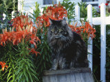 Domestic Cat  Maine Coon Breed  Maine  USA