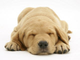 Domestic Labrador Puppy (Canis Familiaris) Sleeping