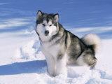 Alaskan Malamute Dog  in Snow  USA