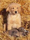 Golden Retriever Puppy with Decoy Duck  USA
