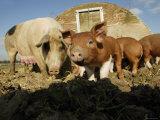 Free Range Organic Pig Sow with Piglets, Wiltshire, UK Papier Photo par T.j. Rich