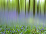 Bluebells in Beech Wood Abstract  Scotland  UK