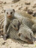 Banded Mongoose and Young  Etosha National Park  Namibia