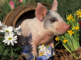 Domestic Piglet in Barrel, Mixed-Breed Papier Photo par Lynn M. Stone