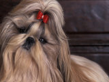 Shih Tzu Portrait with Hair Tied Up  Head Tilted to One Side