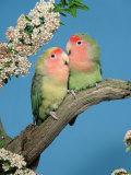 Pair of Peach-Faced Lovebirds