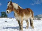 Belgian Horse in Snow  Colorado  USA