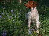 Brittany Spaniel  Domestic Gundog  USA