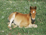 Mustang / Wild Horse Foal  Pryor Mountains  Montana  USA