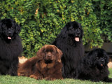 Domestic Dogs  Four Newfoundland Dogs Resting on Grass