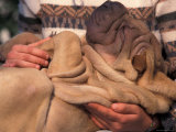 Shar Pei Puppy Lying on Its Back and Being Cuddled  Showing Excess Skin