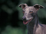 Whippet Panting