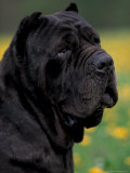 Black Neopolitan Mastiff Portrait