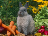 Domestic Netherland Dwarf Rabbit Amongst Vegetables  USA