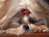 Shih Tzu Lying Down with Hair Tied Up