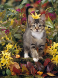 Domestic Cat  12-Week  Agouti Tabby Kitten Among Yellow Azaleas and Spring Foliage