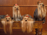 Domestic Dogs  Four Yorkshire Terriers on a Table with Hair Tied up and Very Long Hair