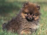 Pomeranian Puppy on Grass