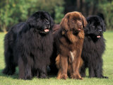 Domestic Dogs  Three Newfoundland Dogs Standing Together