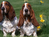 Two Basset Hounds  Domestic Dog Amongst Daffodils  USA