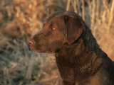 Head Profile Portrait of Chesapeake Bay Retriever  Wisconsin  USA